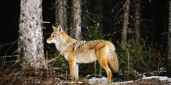 coyot-hunting-part-1