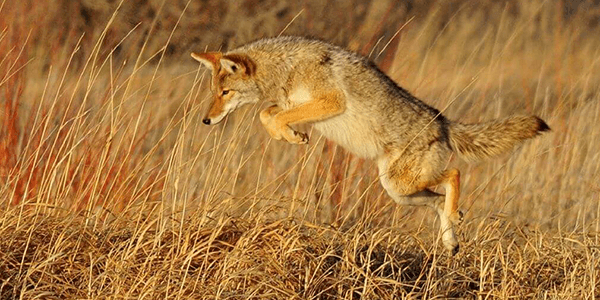 coyot-hunting-part-2