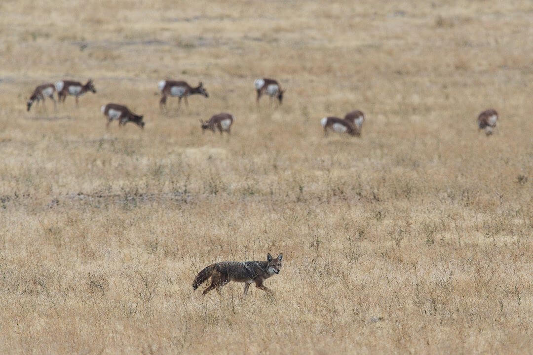 coyot-hunting-part-4